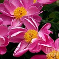 Pink Petals by Eunice Miller