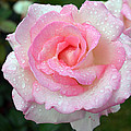 Pink Rose  by Ti Oakva