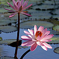 Pink Water Lily In The Spotlight by Sabrina L Ryan