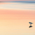 Piping Plover by Bill Wakeley
