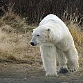 Polar Bear by David Matthews
