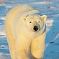 Polar Bear (ursus Maritimus by Richard and Susan Day