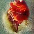 Poppy by Heike Hultsch