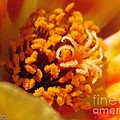 Portulaca In Orange Fading To Yellow by J McCombie