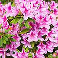 Pretty In Pink - Spring Flowers In Bloom. by Jamie Pham