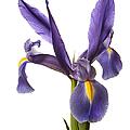 Purple Iris  by Endre Balogh