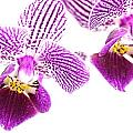 Purple Orchid-5 by Rudy Umans