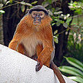 Red Colobus Monkey by Tony Murtagh