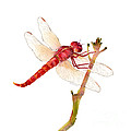Red Dragonfly by Amy Kirkpatrick