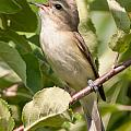 Red-eyed Vireo by Richard Kitchen