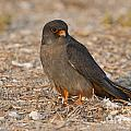 Red Footed Falcon Falco Vespertinus by Eyal Bartov