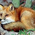Red Fox by Millard H. Sharp