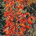 Red Leaves by Alain De Maximy