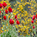 Red On Yellow by Uri Baruch