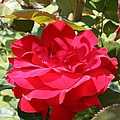 Red Red Rose by Christiane Schulze Art And Photography