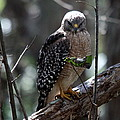 Red - Shouldered Hawk II by Christiane Schulze Art And Photography