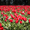 Red Tulips by Puget  Exposure