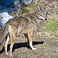 Red Wolf by Ronald Lutz