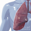 Respiratory System by Science Picture Co