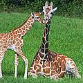 Reticulated Giraffe Calf With Mother by Millard H. Sharp