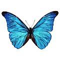 Rhetenor Blue Morpho Butterfly by Science Photo Library