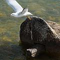 Ring Billed Gull by Scott Hovind