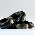 Ringneck Snake Diadophis Punctatus by Aaron Ansarov