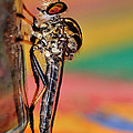 Robber Fly by Kaye Menner