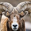 Rocky Mountain Big Horned Sheep by Brandon Smith