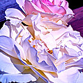 Rose 58 by Pamela Cooper