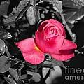 Rose by Erik Dunn