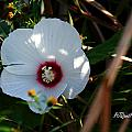 Rose Of Sharon by PJQandFriends Photography