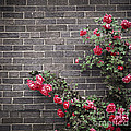Roses On Brick Wall by Elena Elisseeva