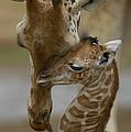 Rothschild Giraffe And Calf by San Diego Zoo