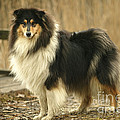 Rough Collie Dog by Jean-Michel Labat