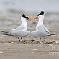 Royal Terns by Anthony Mercieca