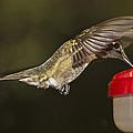 Ruby-throat Hummingbird by Robert L Jackson