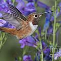 Rufous Hummingbird by Anthony Mercieca