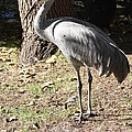 Sandhill Crane  by Christiane Schulze Art And Photography