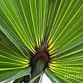 Saw Palmetto  by Howard Stapleton