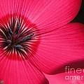 Scarlet Flax by J McCombie