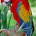 Scarlet Macaw by Millard H. Sharp