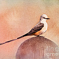 Scissor-tailed Flycatcher by Betty LaRue