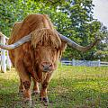 Scottish Highlander Ox by Alexey Stiop