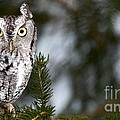 Screech Owl by Precision Images