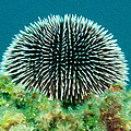 Sea Urchin by Roy Pedersen