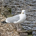 Seagull by FL collection