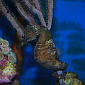 Seahorse And Coral by Robert Floyd