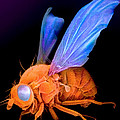 Sem Of A Fly Drosophila by David M. Phillips