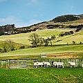 Sheep In Meadow by Tom Gowanlock